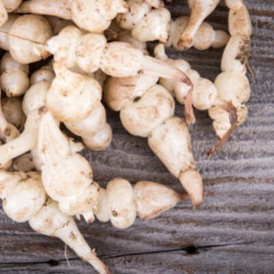 Crosne-du-japon-legumes-anciens